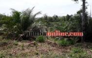 Lahan Perkebunan kelapa Sawit milik warga yang dibuka pasca anjloknya harga karet di kecamatan batang hari leko